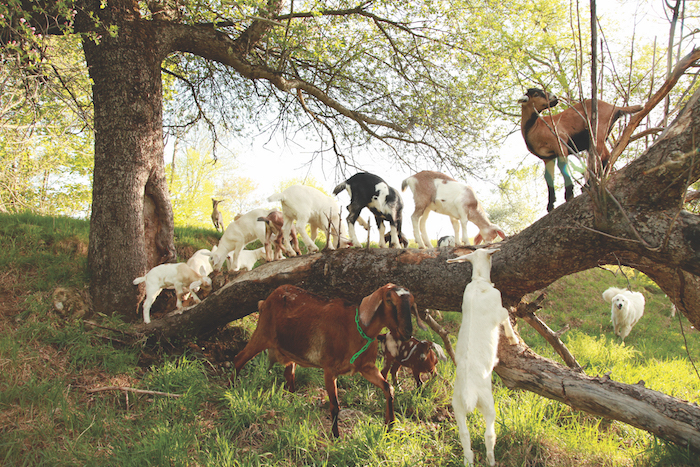 Goats on Wide Tree Branch