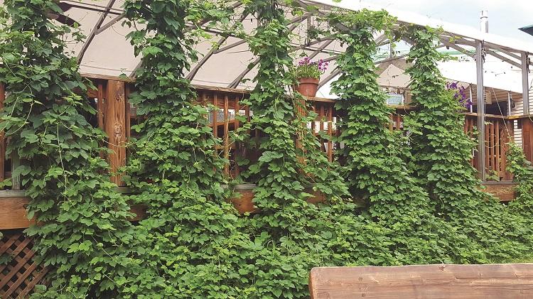 hops at long trail brewing company