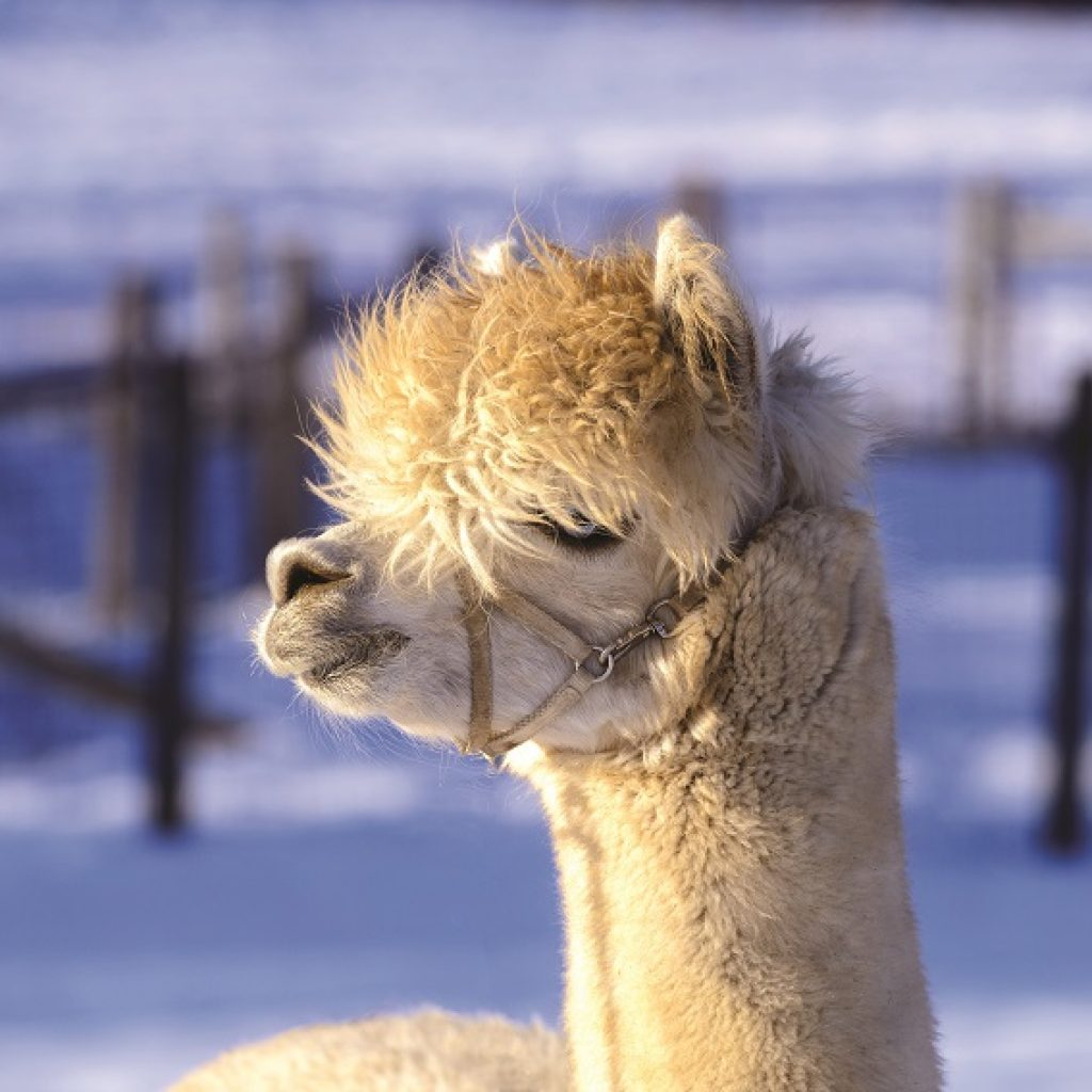 alpaca in winter