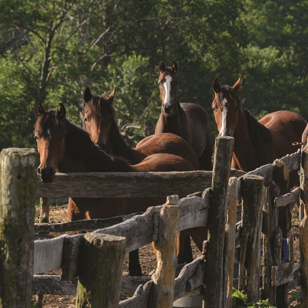 morgan horses behind fence