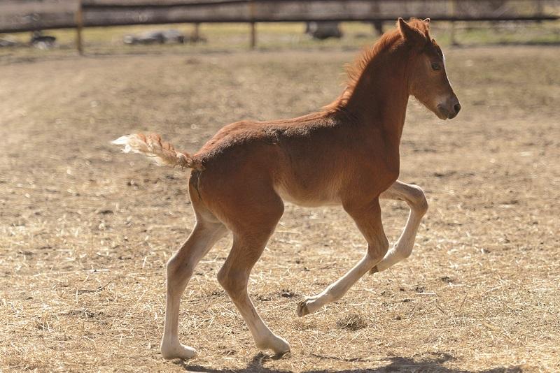morgan horse foal